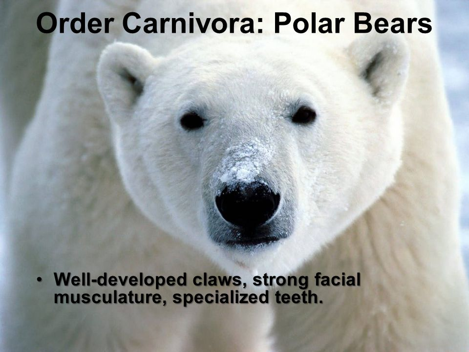 Order Carnivora: Polar Bears Well-developed claws, strong facial musculature, specialized teeth.Well-developed claws, strong facial musculature, speci