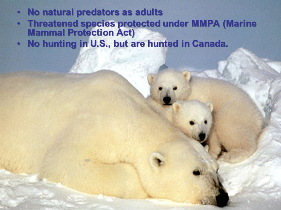No natural predators as adultsNo natural predators as adults Threatened species protected under MMPA (Marine Mammal Protection Act)Threatened species