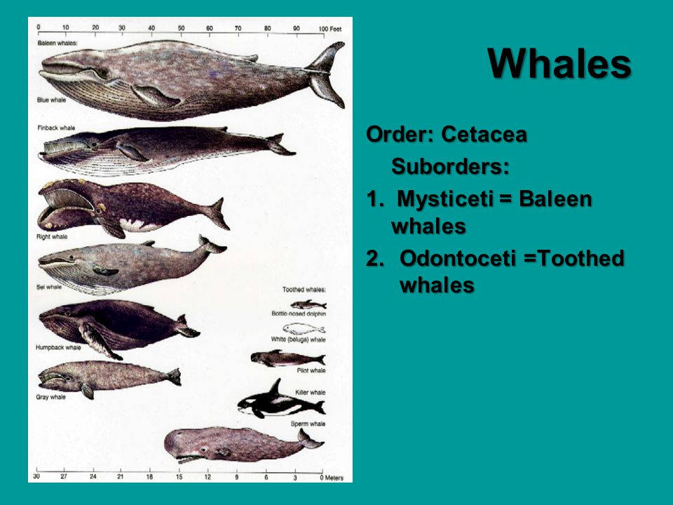 Whales Order: Cetacea Suborders: 1. Mysticeti = Baleen whales 2.Odontoceti =Toothed whales