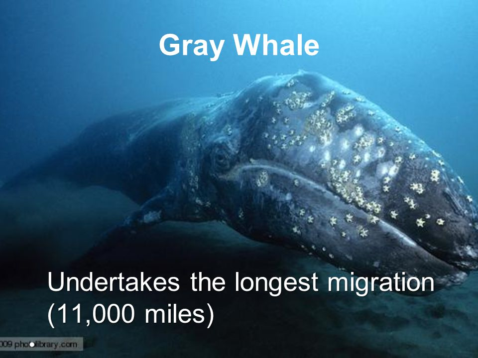Gray Whale Undertakes the longest migration (11,000 miles)