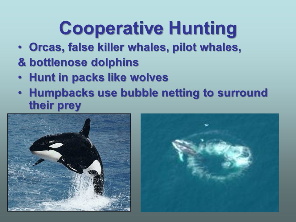 Cooperative Hunting Orcas, false killer whales, pilot whales,Orcas, false killer whales, pilot whales, & bottlenose dolphins Hunt in packs like wolves