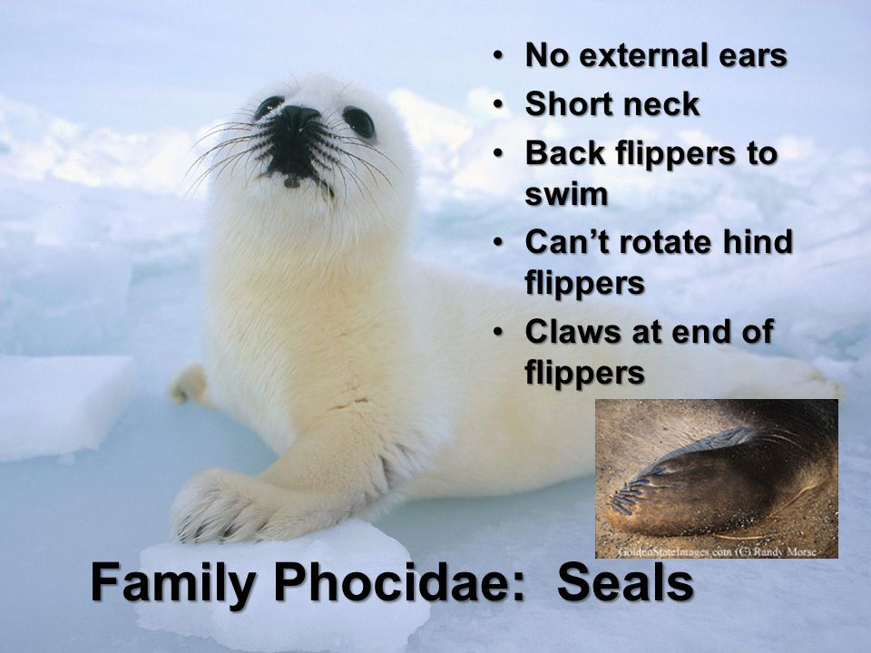 Family Phocidae: Seals No external earsNo external ears Short neckShort neck Back flippers to swimBack flippers to swim Cant rotate hind flippersCant