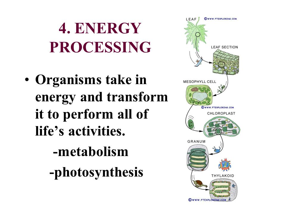 4. ENERGY PROCESSING Organisms take in energy and transform it to perform all of lifes activities. -metabolism -photosynthesis