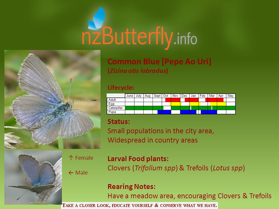 Common Blue [Pepe Ao Uri] (Zizina otis labradus) Lifecycle: Status: Small populations in the city area, Widespread in country areas Larval Food plants