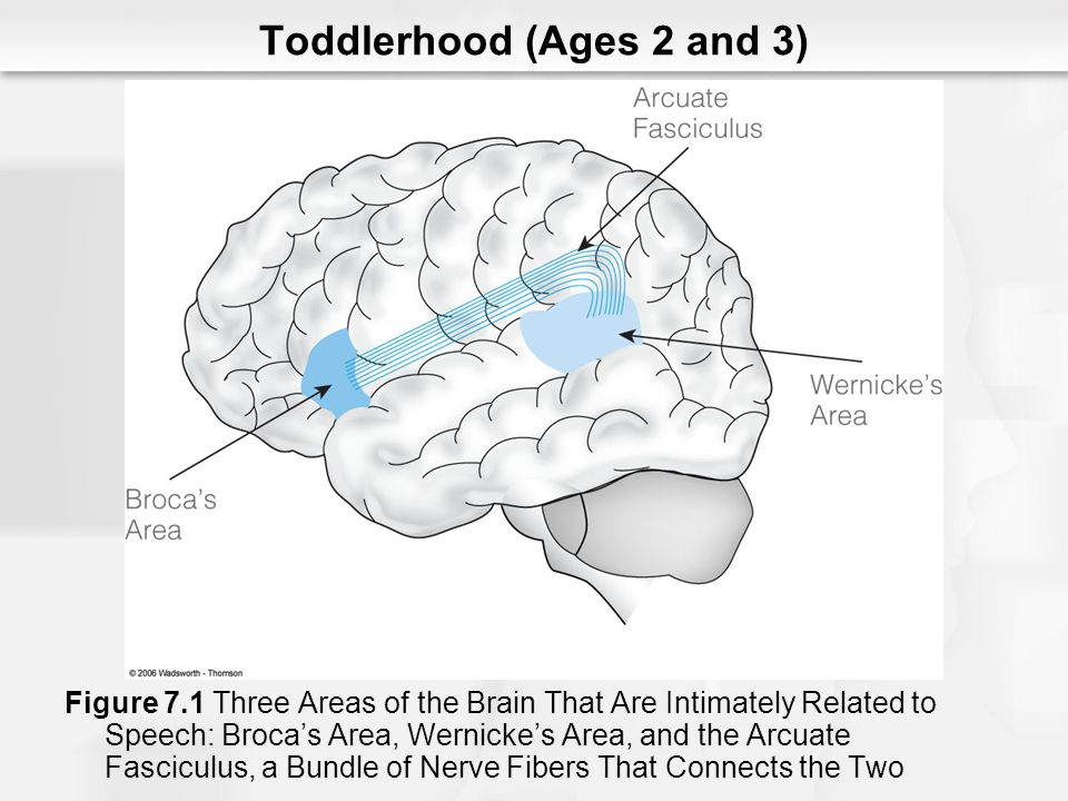 Toddlerhood (Ages 2 and 3) Figure 7.1 Three Areas of the Brain That Are Intimately Related to Speech: Brocas Area, Wernickes Area, and the Arcuate Fas