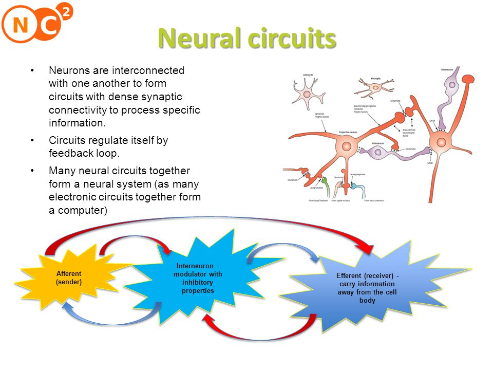 Neural circuits Neurons are interconnected with one another to form circuits with dense synaptic connectivity to process specific information.