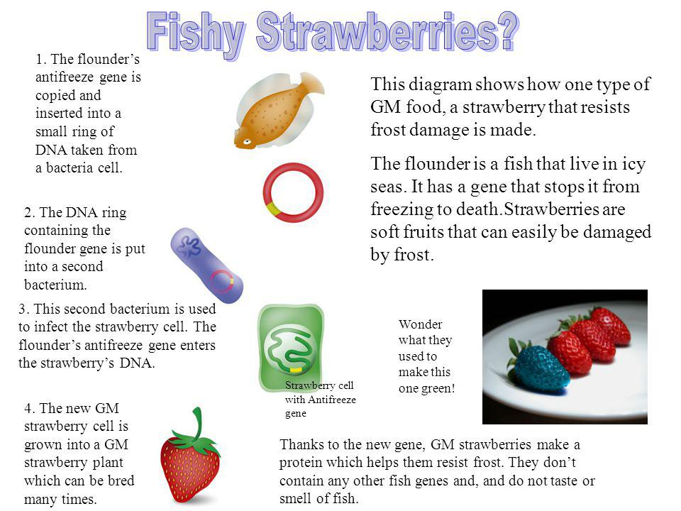 This diagram shows how one type of GM food, a strawberry that resists frost damage is made. The flounder is a fish that live in icy seas. It has a gen
