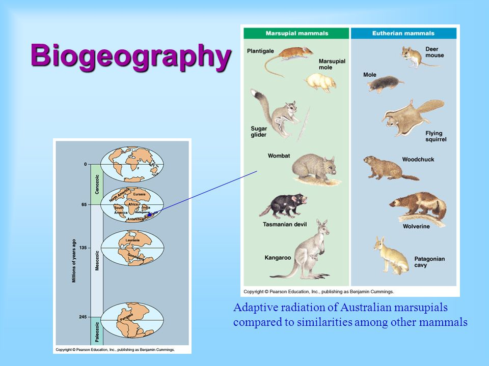 Biogeography Adaptive radiation of Australian marsupials compared to similarities among other mammals