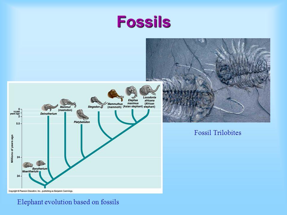 Fossils Fossil Trilobites Elephant evolution based on fossils
