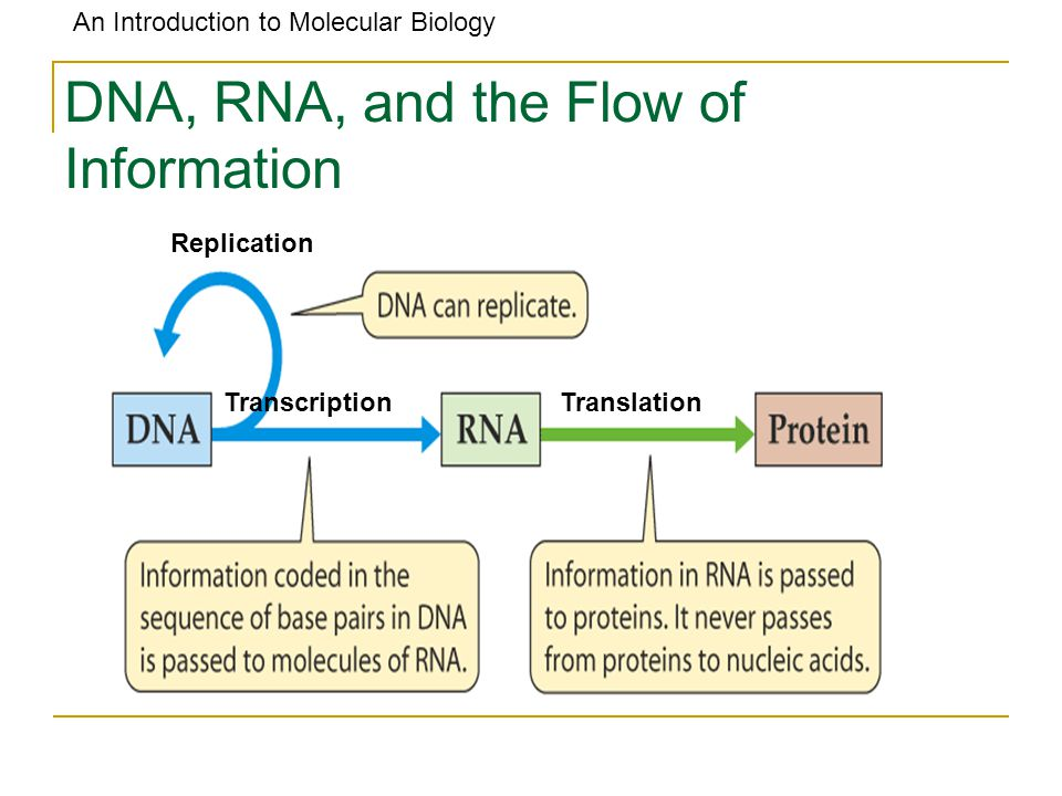 An Introduction to Molecular Biology DNA, RNA, and the Flow of Information TranslationTranscription Replication