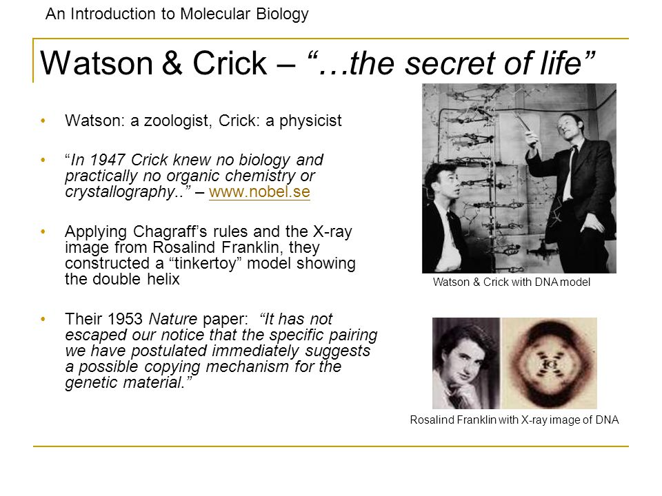 An Introduction to Molecular Biology Watson & Crick – …the secret of life Watson: a zoologist, Crick: a physicist In 1947 Crick knew no biology and pr