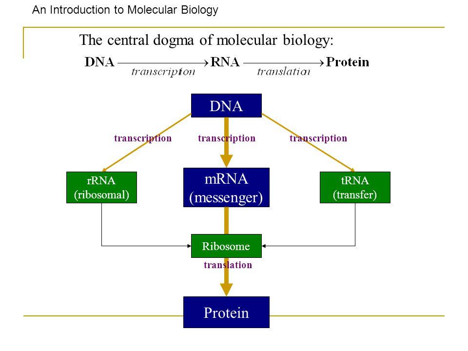 An Introduction to Molecular Biology The central dogma of molecular biology: DNA mRNA (messenger) rRNA (ribosomal) tRNA (transfer) Protein Ribosome tr