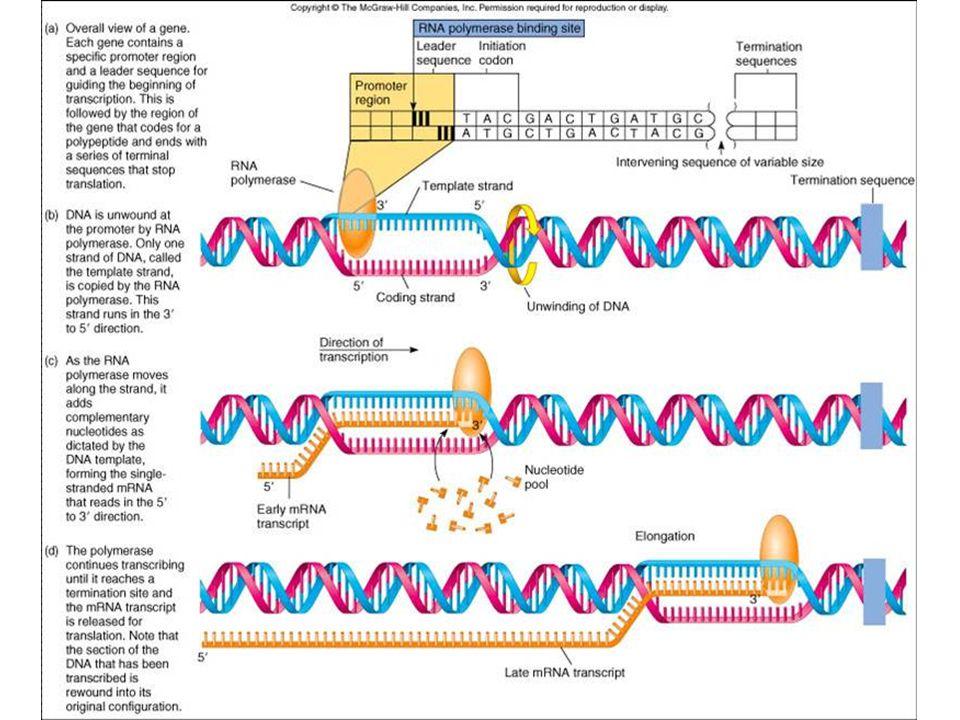 An Introduction to Molecular Biology Transcription: DNA hnRNA