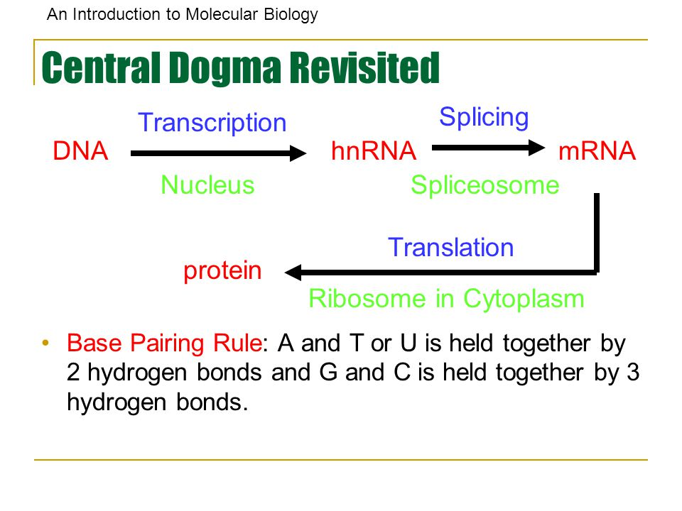 An Introduction to Molecular Biology Central Dogma Revisited Base Pairing Rule: A and T or U is held together by 2 hydrogen bonds and G and C is held