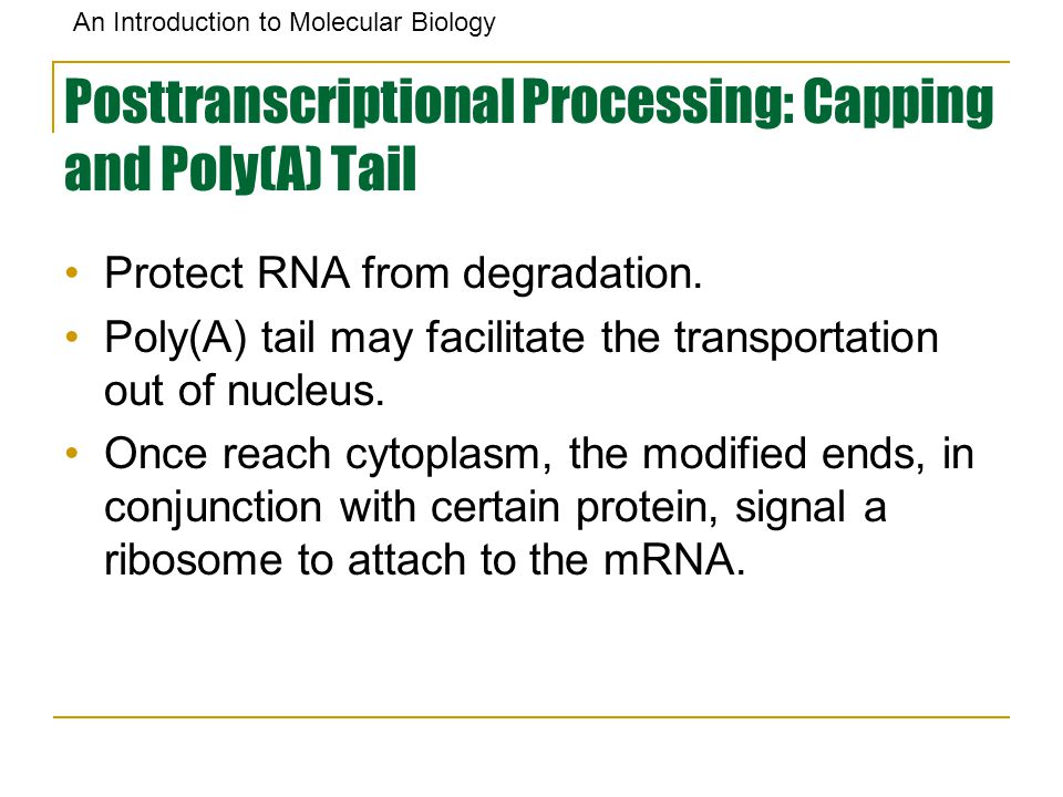 An Introduction to Molecular Biology Posttranscriptional Processing: Capping and Poly(A) Tail Protect RNA from degradation. Poly(A) tail may facilitat