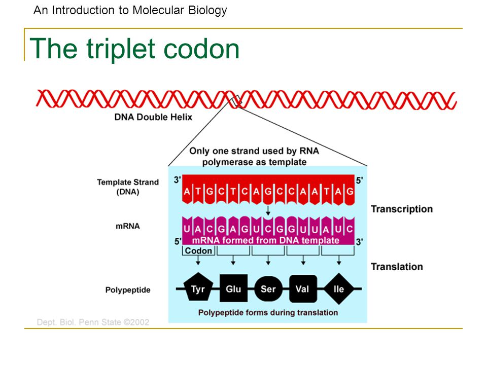 An Introduction to Molecular Biology The triplet codon