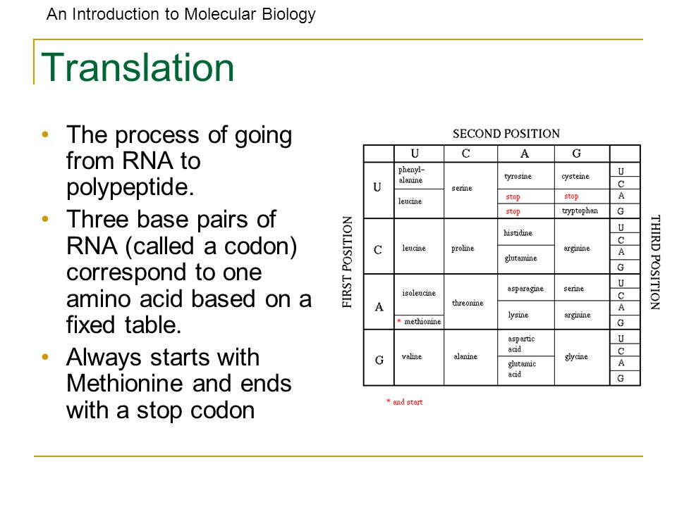 An Introduction to Molecular Biology Translation The process of going from RNA to polypeptide. Three base pairs of RNA (called a codon) correspond to