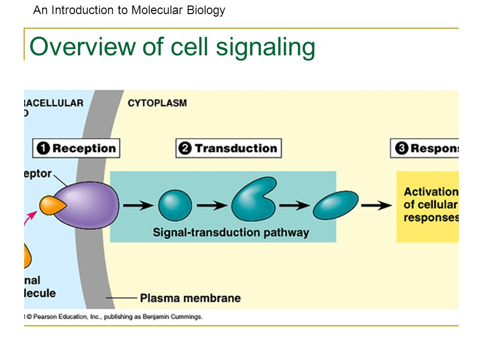 An Introduction to Molecular Biology Cells Information and Machinery Cells store all information to replicate itself The genome of an organism is the totality of genetic information and is encoded in the DNA (or for some virus, RNA) Human genome is around 3 billions base pair long Almost every cell in human body contains same set of genes But not all genes are used or expressed by those cells Machinery: Collect and manufacture components Carry out replication (A cell is like a car factory)