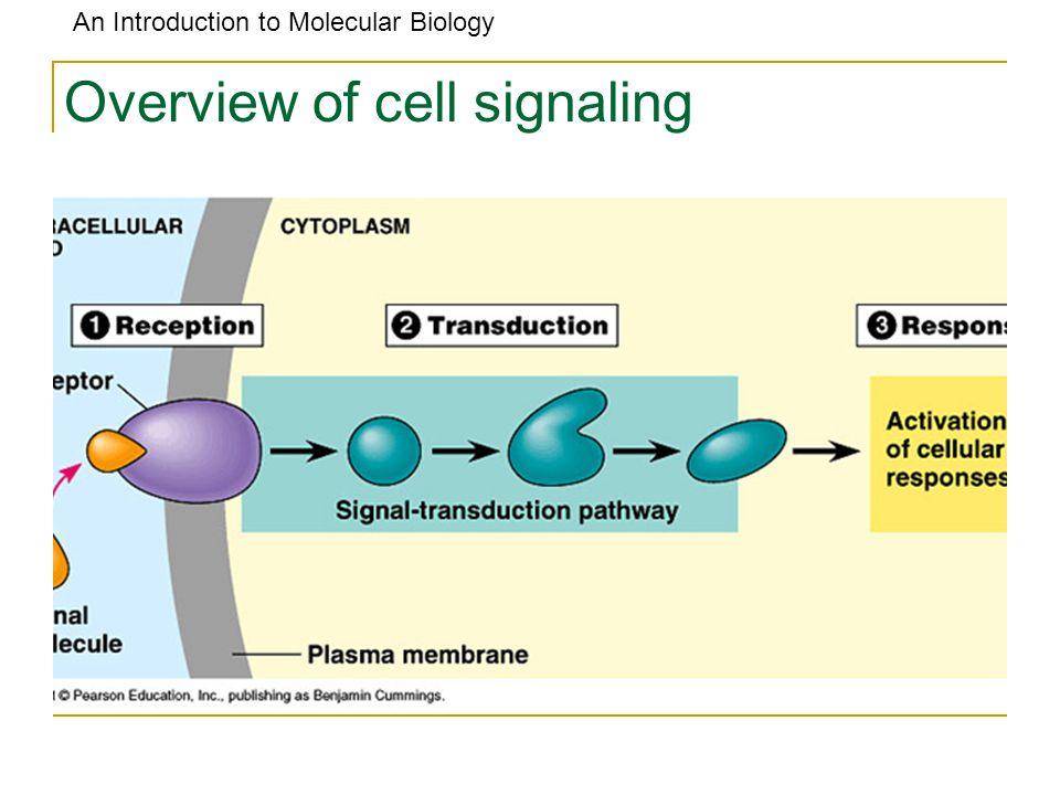 An Introduction to Molecular Biology The central dogma of molecular biology: DNA mRNA (messenger) rRNA (ribosomal) tRNA (transfer) Protein Ribosome transcription translation
