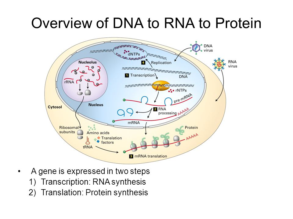 Overview of DNA to RNA to Protein A gene is expressed in two steps 1)Transcription: RNA synthesis 2)Translation: Protein synthesis