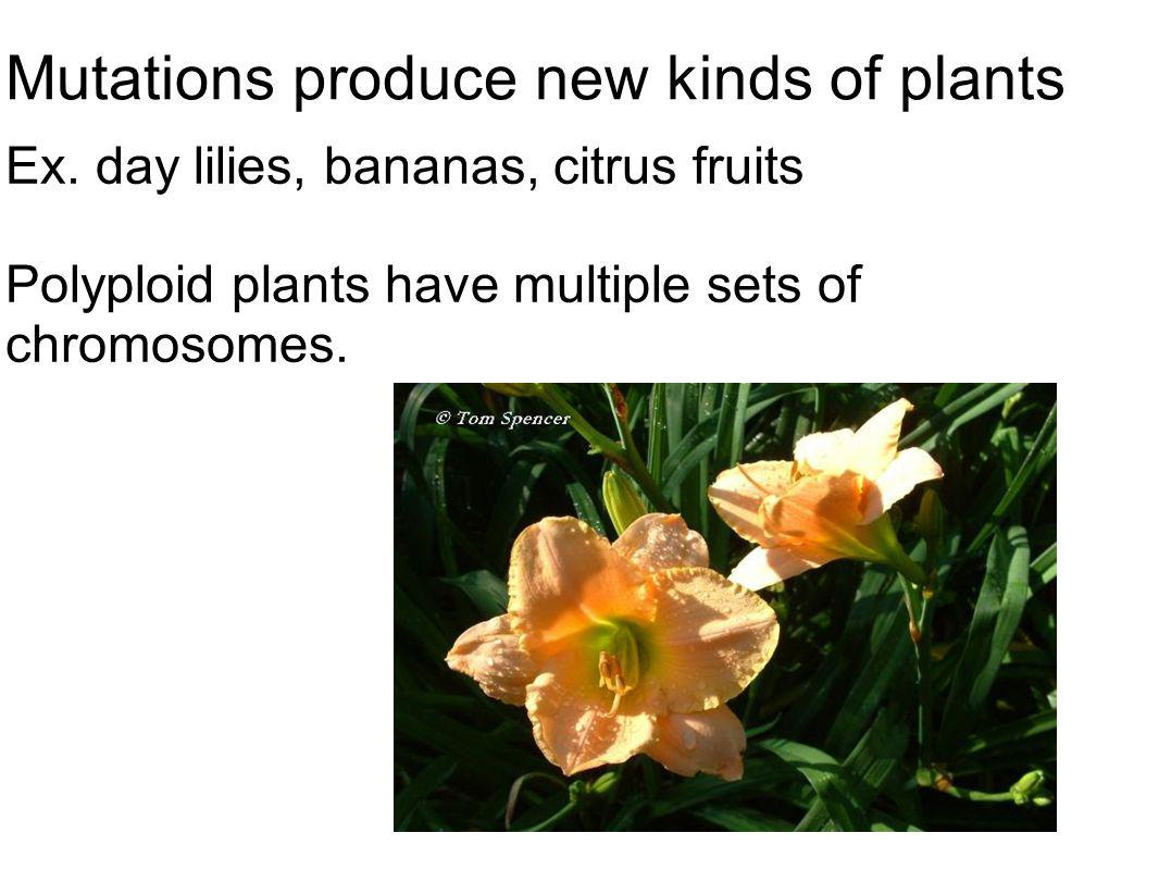Mutations produce new kinds of plants Ex. day lilies, bananas, citrus fruits Polyploid plants have multiple sets of chromosomes.