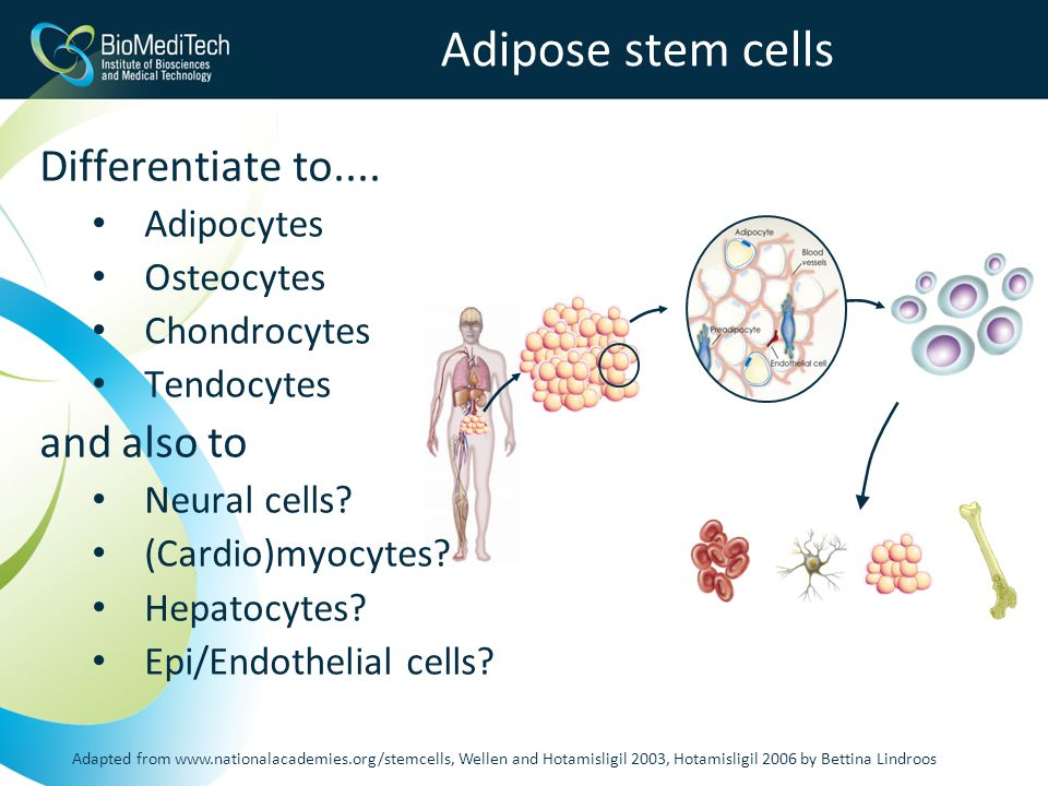 Adipose stem cells Differentiate to....