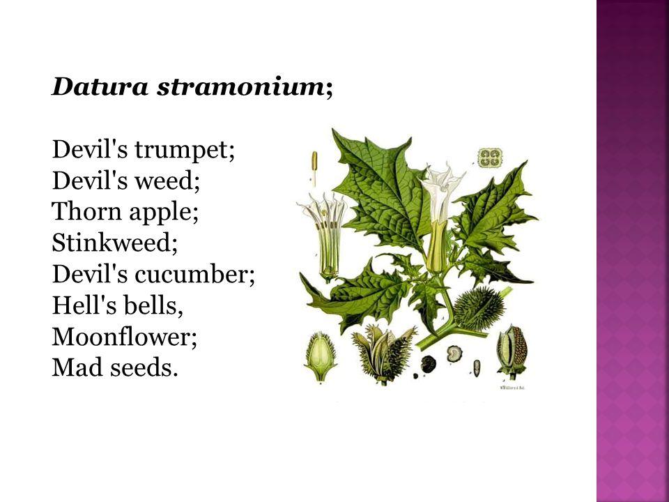 Datura stramonium; Devil's trumpet; Devil's weed; Thorn apple; Stinkweed; Devil's cucumber; Hell's bells, Moonflower; Mad seeds.