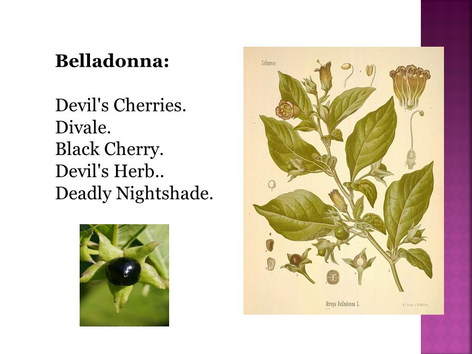 Belladonna: a name was bestowed on it because its juice was used by the Italian ladies to give their eyes greater brilliancy, the smallest quantity having the effect of dilating the pupils of the eye.