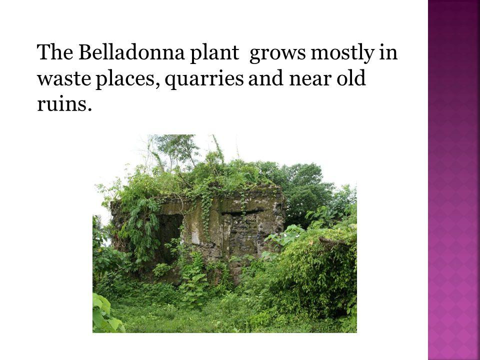 Datura stramonium; Devil s trumpet; Devil s weed; Thorn apple; Stinkweed; Devil s cucumber; Hell s bells, Moonflower; Mad seeds.