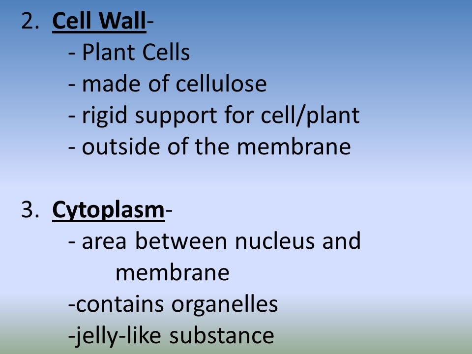 2. Cell Wall- - Plant Cells - made of cellulose - rigid support for cell/plant - outside of the membrane 3. Cytoplasm- - area between nucleus and memb