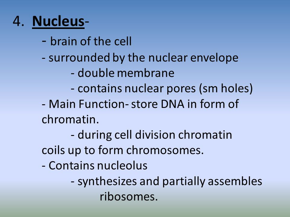 4. Nucleus- - brain of the cell - surrounded by the nuclear envelope - double membrane - contains nuclear pores (sm holes) - Main Function- store DNA