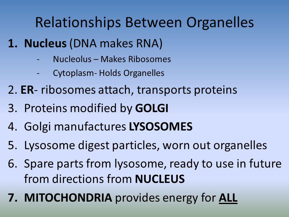 Relationships Between Organelles 1.Nucleus (DNA makes RNA) -Nucleolus – Makes Ribosomes -Cytoplasm- Holds Organelles 2. ER- ribosomes attach, transpor