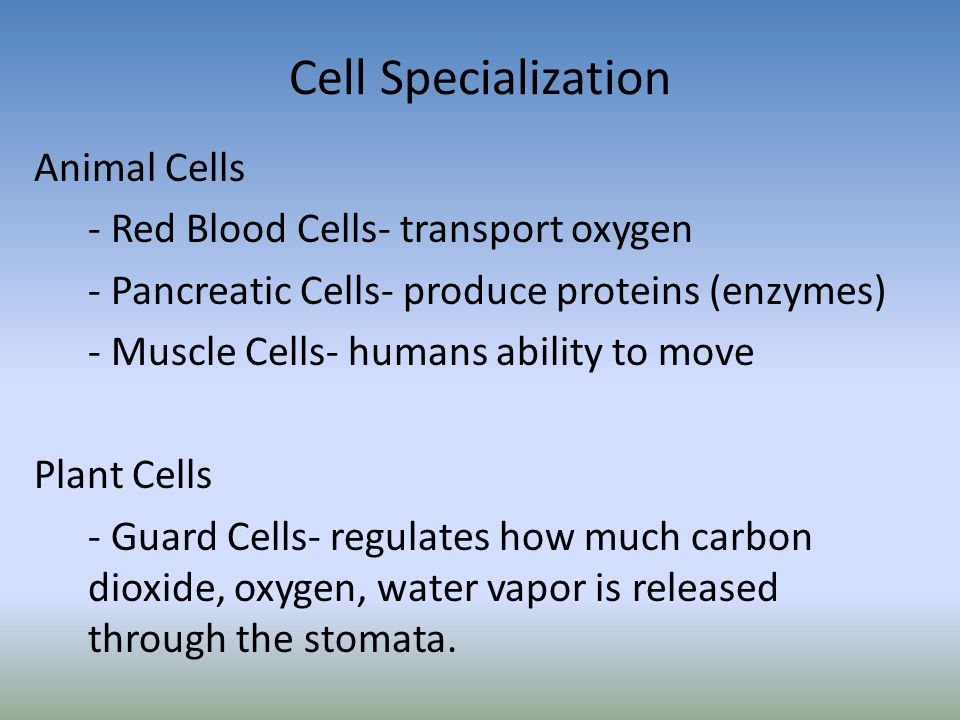 Cell Specialization Animal Cells - Red Blood Cells- transport oxygen - Pancreatic Cells- produce proteins (enzymes) - Muscle Cells- humans ability to