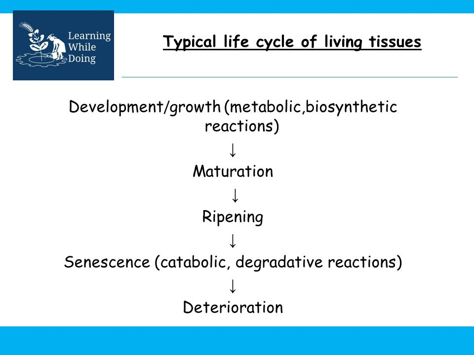 Typical life cycle of living tissues Development / growth (metabolic,biosynthetic reactions) Maturation Ripening Senescence (catabolic, degradative re