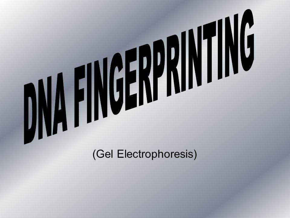 (Gel Electrophoresis)