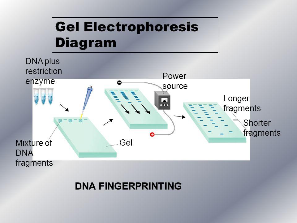 DNA plus restriction enzyme Mixture of DNA fragments Gel Power source Longer fragments Shorter fragments Gel Electrophoresis Diagram DNA FINGERPRINTIN