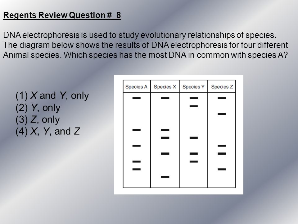 Regents Review Question # 8 DNA electrophoresis is used to study evolutionary relationships of species. The diagram below shows the results of DNA ele