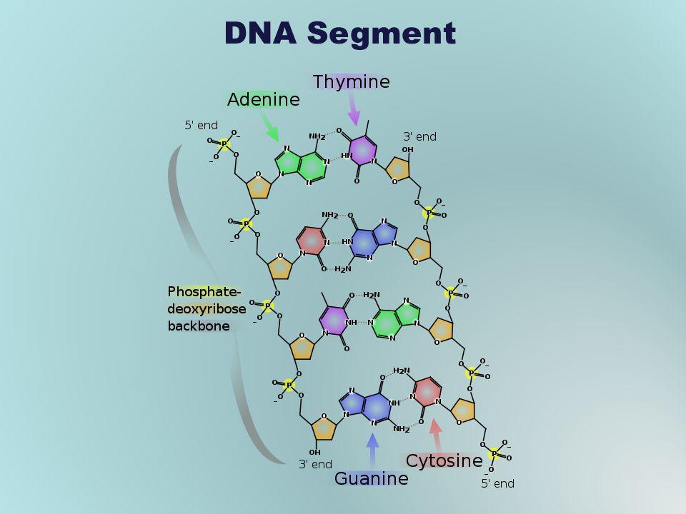 DNA Segment