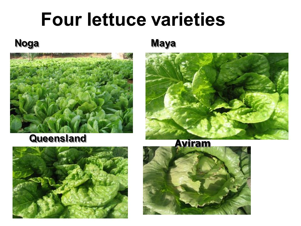 Four lettuce varieties Queensland Aviram Noga Maya