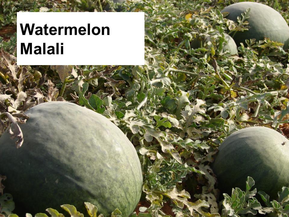 Watermelon Malali