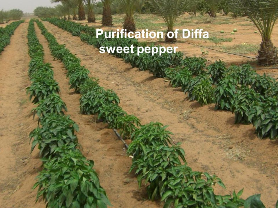 Purification of Diffa sweet pepper