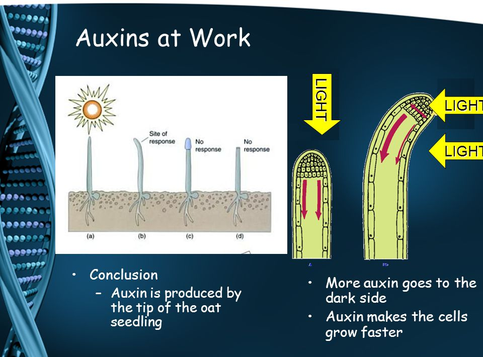Auxins at Work More auxin goes to the dark side Auxin makes the cells grow faster LIGHT Conclusion – –Auxin is produced by the tip of the oat seedling LIGHT LIGHT