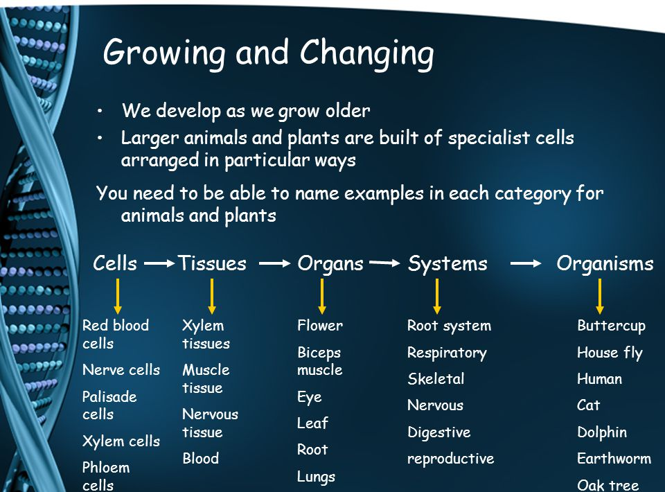 Growing and Changing We develop as we grow older Larger animals and plants are built of specialist cells arranged in particular ways You need to be able to name examples in each category for animals and plants CellsTissuesOrgansSystemsOrganisms Red blood cells Nerve cells Palisade cells Xylem cells Phloem cells Xylem tissues Muscle tissue Nervous tissue Blood Flower Biceps muscle Eye Leaf Root Lungs Root system Respiratory Skeletal Nervous Digestive reproductive Buttercup House fly Human Cat Dolphin Earthworm Oak tree