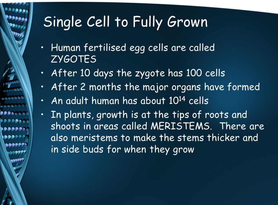 Single Cell to Fully Grown Human fertilised egg cells are called ZYGOTES After 10 days the zygote has 100 cells After 2 months the major organs have f