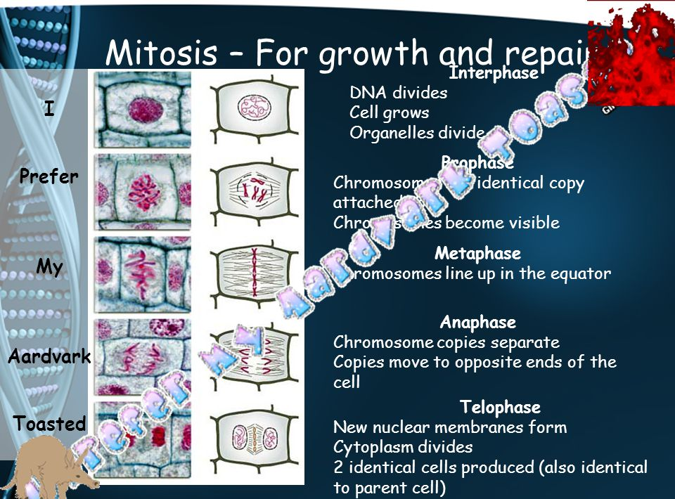 Mitosis – For growth and repair Interphase DNA divides Cell grows Organelles divide Prophase Chromosomes has identical copy attached to it Chromosomes
