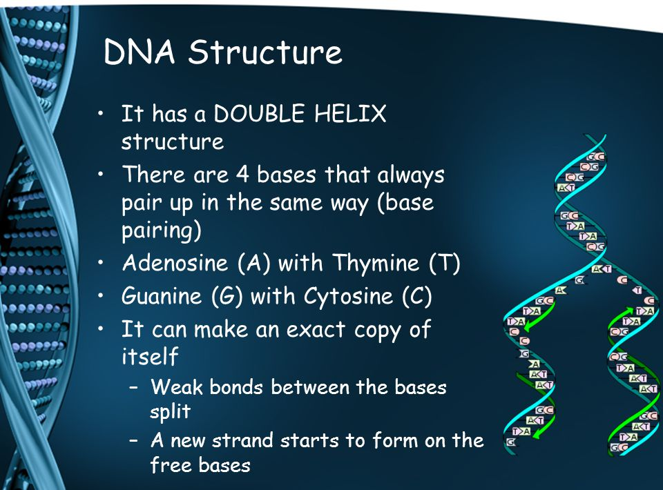 Making Proteins Proteins are made up of amino acids There are about 20 possible amino acids to use 3 bases on the DNA code for a single amino acid (triplet code) mRNA forms on the untwisted DNA mRNA has Uracil (U) instead of thymine (T) mRNA moves out of the nucleus through pores Ribosomes attach to one end of the mRNA and as they move along amino acids are added to make up the protein