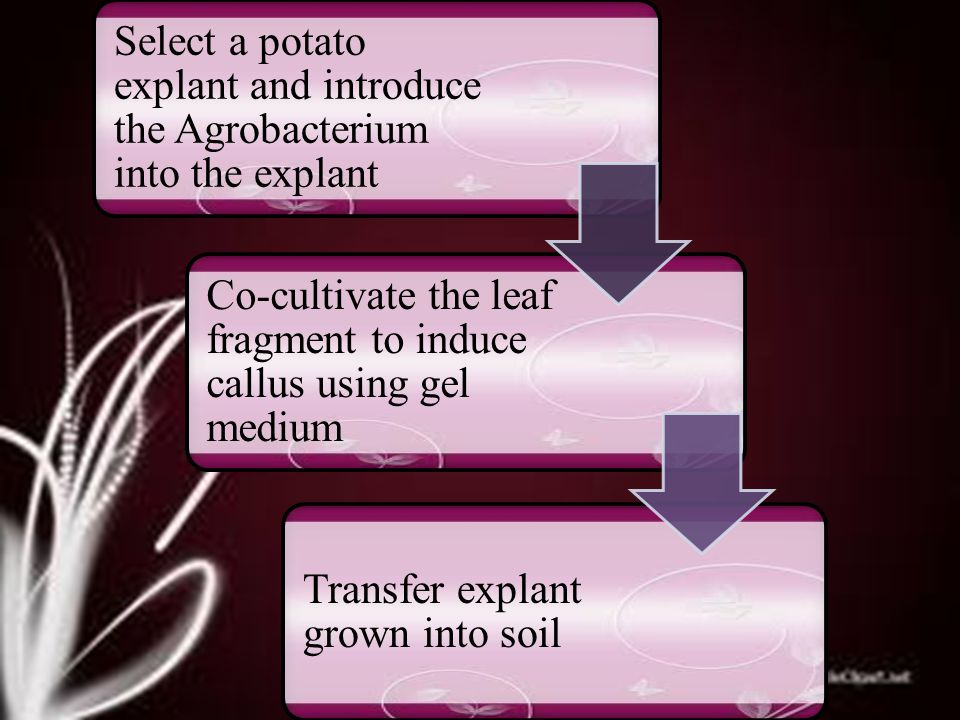 Co-cultivate the leaf fragment to induce callus using gel medium Transfer explant grown into soil Select a potato explant and introduce the Agrobacterium into the explant