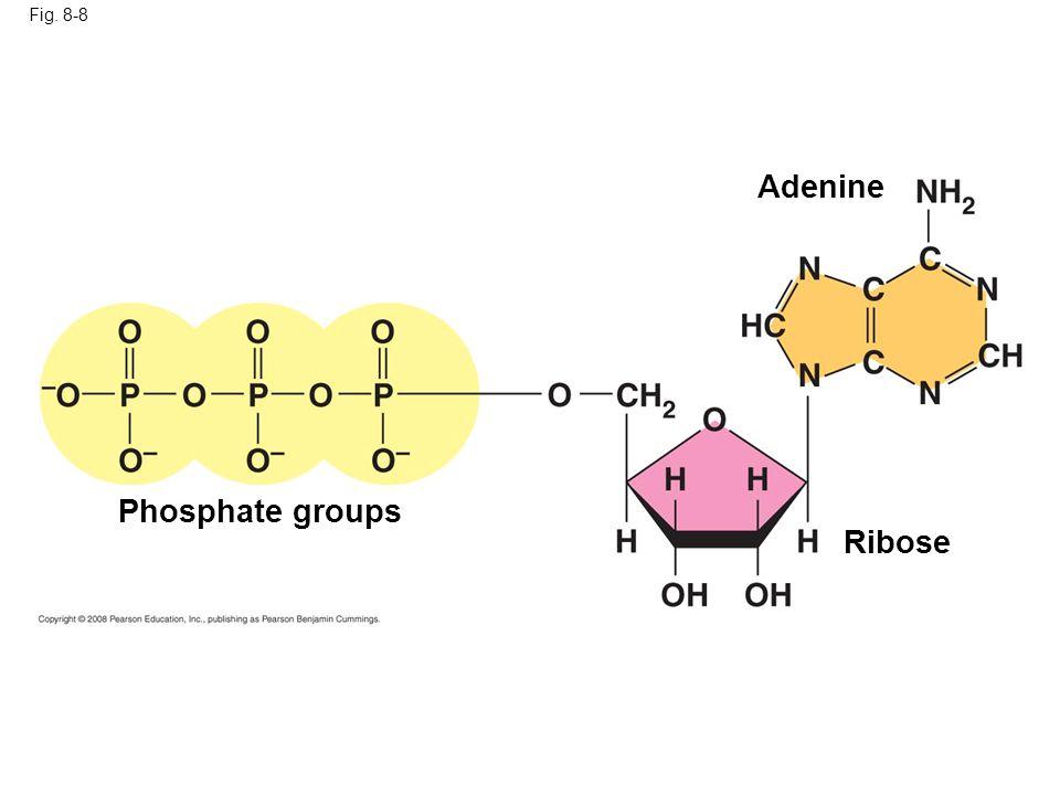 Fig. 8-8 Phosphate groups Ribose Adenine