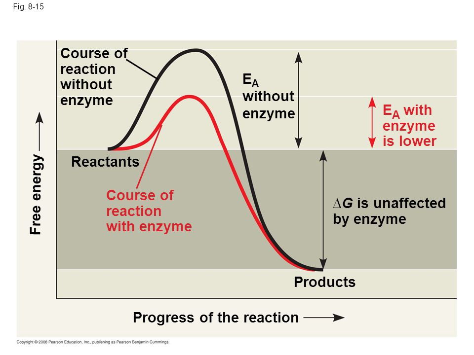 Fig. 8-15 Progress of the reaction Products Reactants G is unaffected by enzyme Course of reaction without enzyme Free energy E A without enzyme E A w