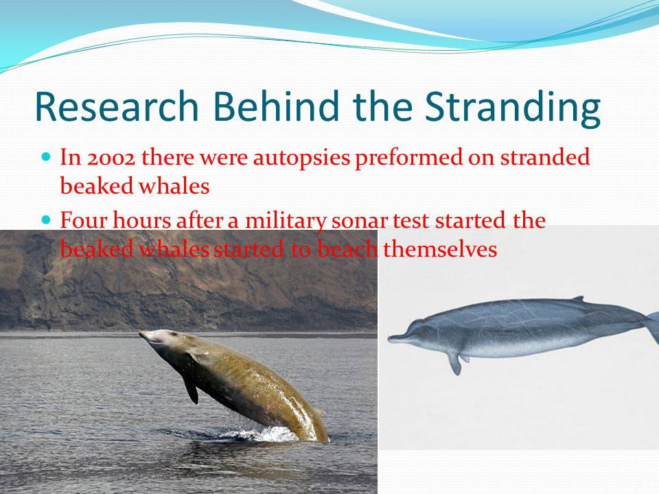 Research Behind the Stranding In 2002 there were autopsies preformed on stranded beaked whales Four hours after a military sonar test started the beak